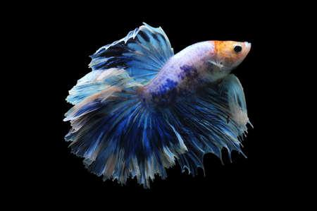 Betta fish, siamese fighting fish, betta splendens isolated on black background, fish on black background, Multi color Siamese fighting fish,