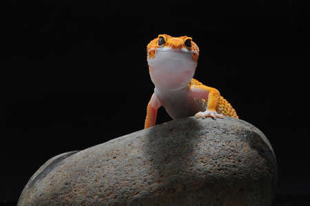 leopard lizard gecko, Common leopard gecko, Imagens - 147029350