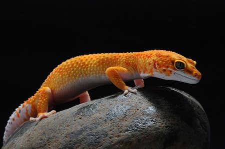 leopard lizard gecko, Common leopard gecko, Imagens - 147028707