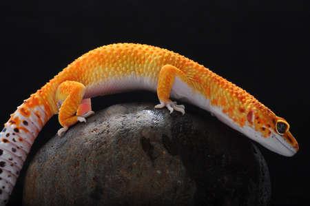 leopard lizard gecko, Common leopard gecko,