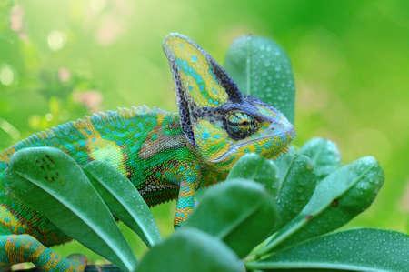 chameleon veiled in leaf stems