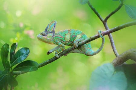 chameleon veiled in leaf stems Imagens - 147783030
