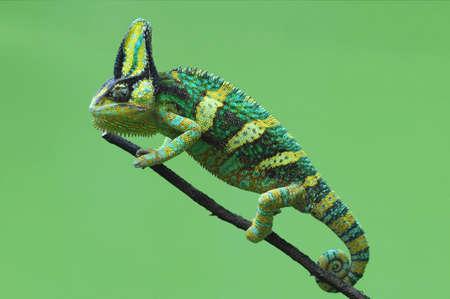 chameleon veiled Stockfoto