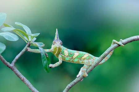 chameleon veiled in leaf stems Imagens - 147036043