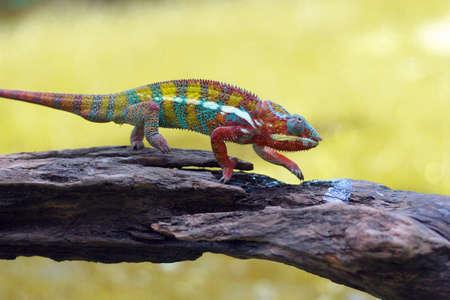 chameleon Imagens - 147036250