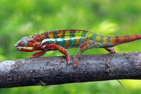 chameleon Imagens - 147036073
