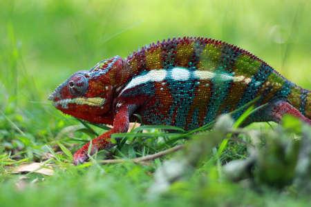 chameleon Imagens - 147035943