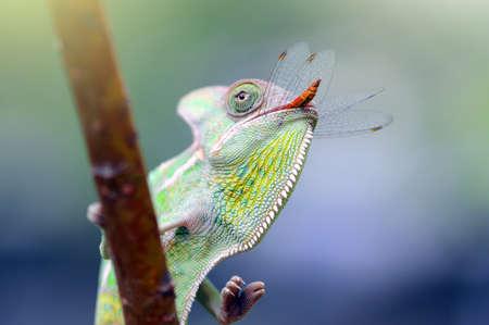 chameleon eat dragonfly Stockfoto