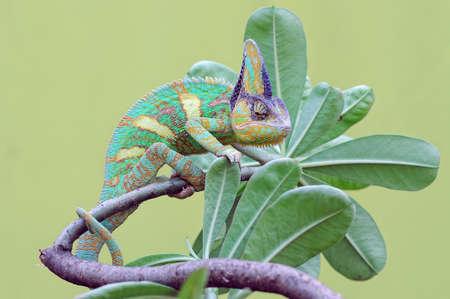 chameleon veiled in leaf stems Imagens - 147783039