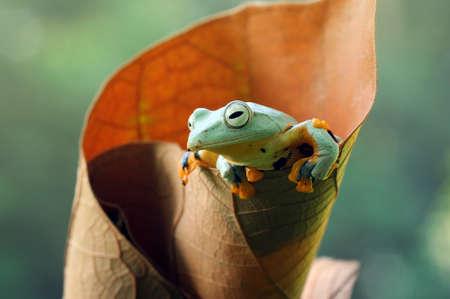 Frog, flying frog, tree frog, Imagens - 147049273