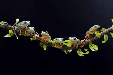 Frog, flying frog, tree frog, Imagens - 147049239