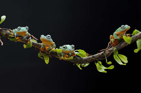 Frog, flying frog, tree frog, Imagens - 147049267