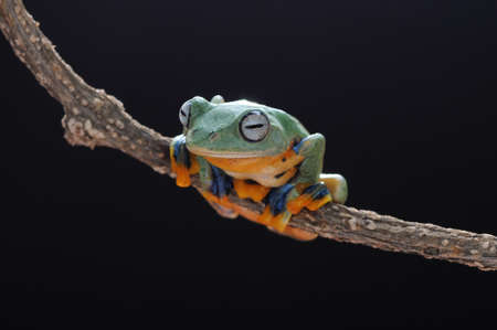 Frog, flying frog, tree frog, Imagens - 147049692