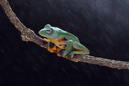 Frog, flying frog, tree frog, Imagens - 147049250