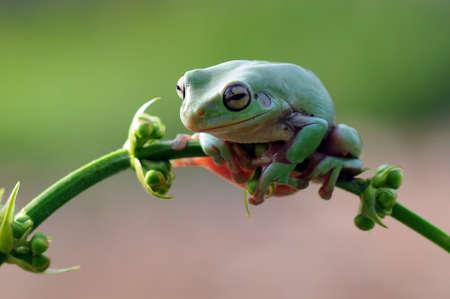 Frog, flying frog, tree frog, Imagens - 147049614