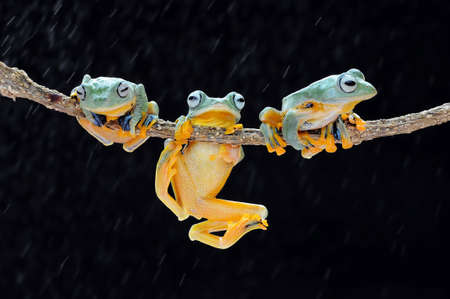 Frog, flying frog, tree frog, Imagens - 147048939