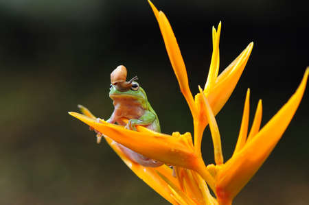 Frog, flying frog, tree frog, Imagens - 147049815