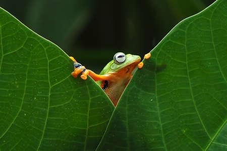 flying frog, tree frog, frog, dumpy frog, Imagens - 147422177