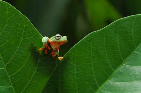 flying frog, tree frog, frog, dumpy frog,
