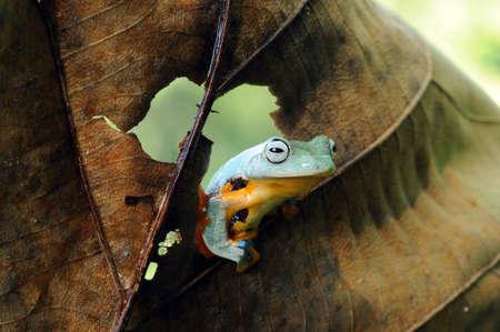 flying frog Zdjęcie Seryjne