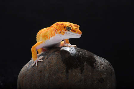 leopard gecko, gecko, reptile, lizard, animals, macro, orange, Zdjęcie Seryjne