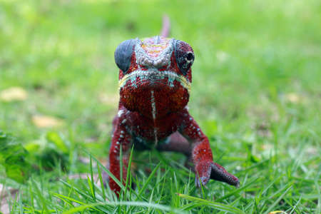 chameleon phanter, chameleon veiled,