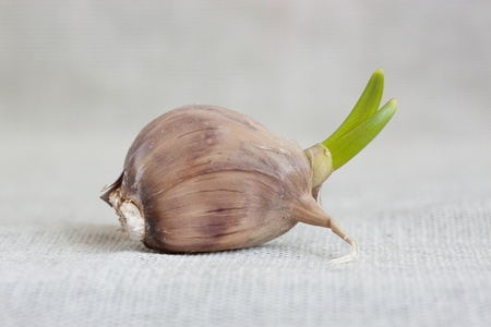 sprouted: Sprouted garlic clove on a gray cloth. Stock Photo