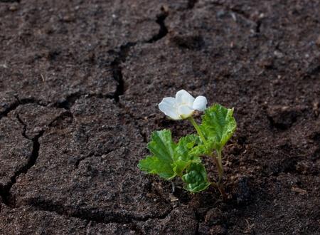 White flower growing on the black dry soil. photo