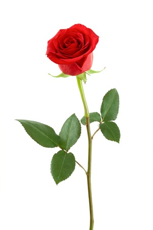 stem: One red rose on a white background.
