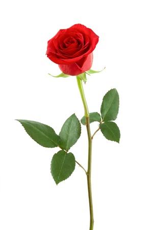 tallo: Una rosa roja sobre un fondo blanco. Foto de archivo