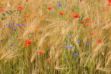 Wheat, poppies and cornflowers in the field. photo