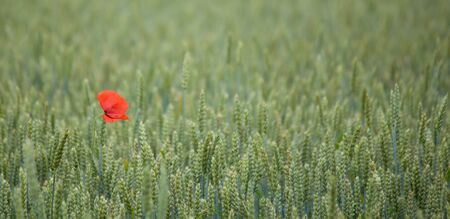 A poppy flower in a field of rye. photo