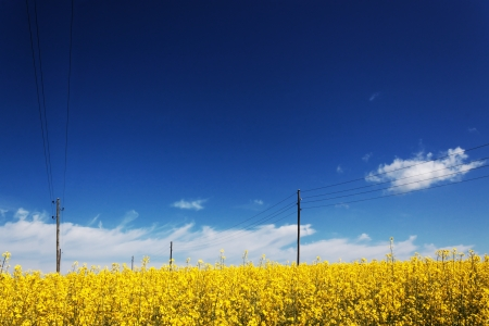 Landscape with power poles on rapeseed field. photo