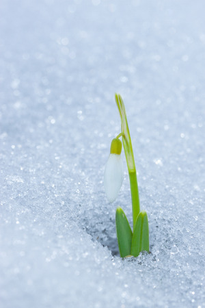 winter thaw: First spring snowdrop rose from under the snow.