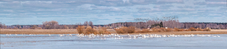 migratory: Panorama with migratory birds in the spring cloudy day. Stock Photo