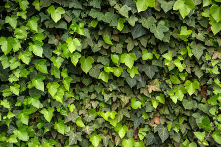 ivy wall: Green ivy wall with new leafs Nurnberg Germany