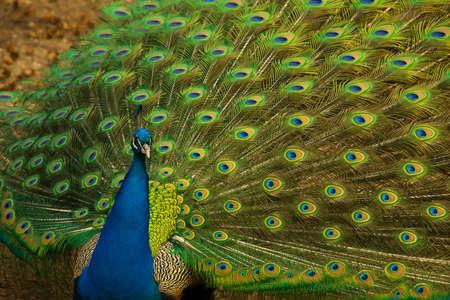 peacock feathers: Retrato de pavo real posando con plumas fuera Foto de archivo