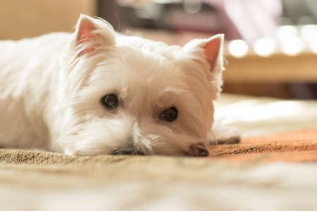 purebred dog: West highland white terrier portrait Stock Photo