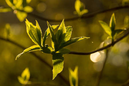 unfold: Jasmine branches and leaves at sunset