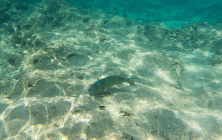 parrotfish: Mini-fin parrotfish Scarus Altipinnis looking for a food