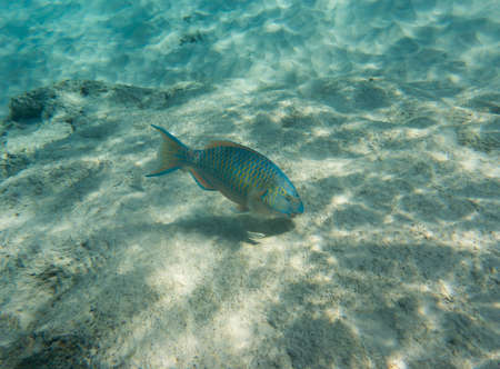 coralfish: Mini-fin parrotfish Scarus Altipinnis looking for a food