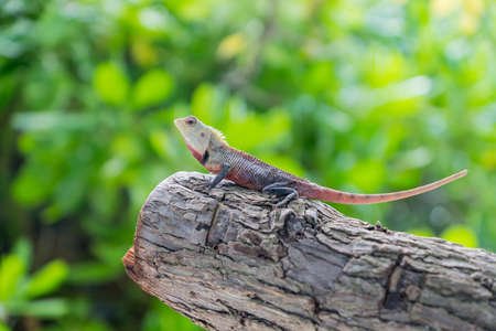 versicolor: Calotes lizard sitting on the tree. Maldives