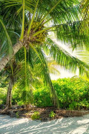 Nice tropical beach at Thoddoo island. Maldives