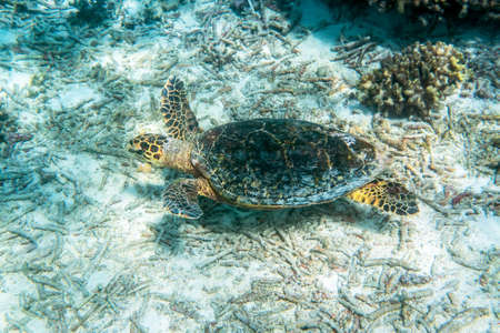 freediving: Sea turtle swimming around the coral reef
