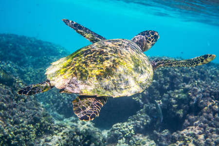 water ecosystem: Sea turtle swimming around the coral reef