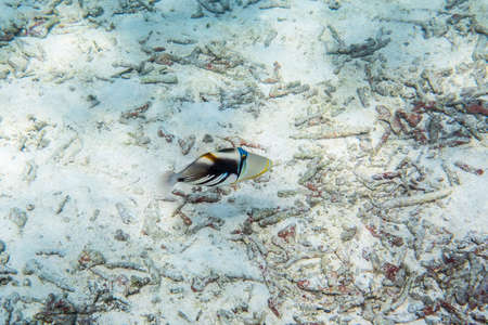 triggerfish: Picasso triggerfish ( Rhinecanthus aculeatus ) swimmming around the reef Stock Photo