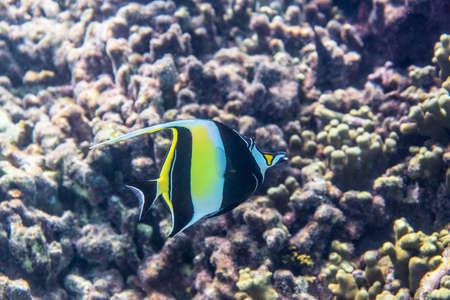 Moorish Idol ( Zanclus cornutus ) swimming around the reef