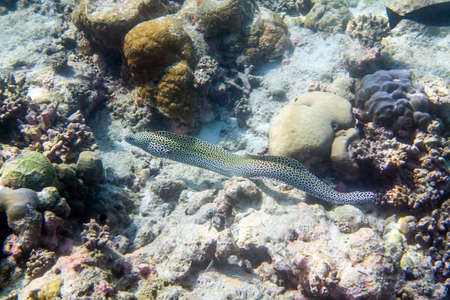 Honeycomb moray eel ( Gymnothorax favagineus ) swimming around