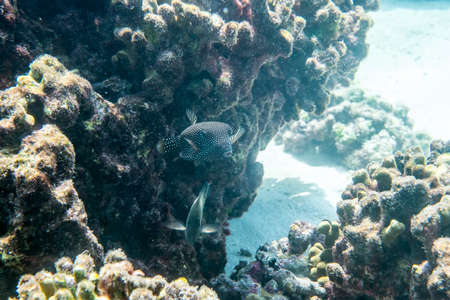 Guineafowl puffer ( Arothron meleagris ) swimmming arounn the reef Stock Photo