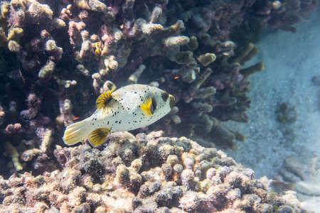 Dogface puffer (Arothron nigropunctatus) swimming around the reef Stock Photo